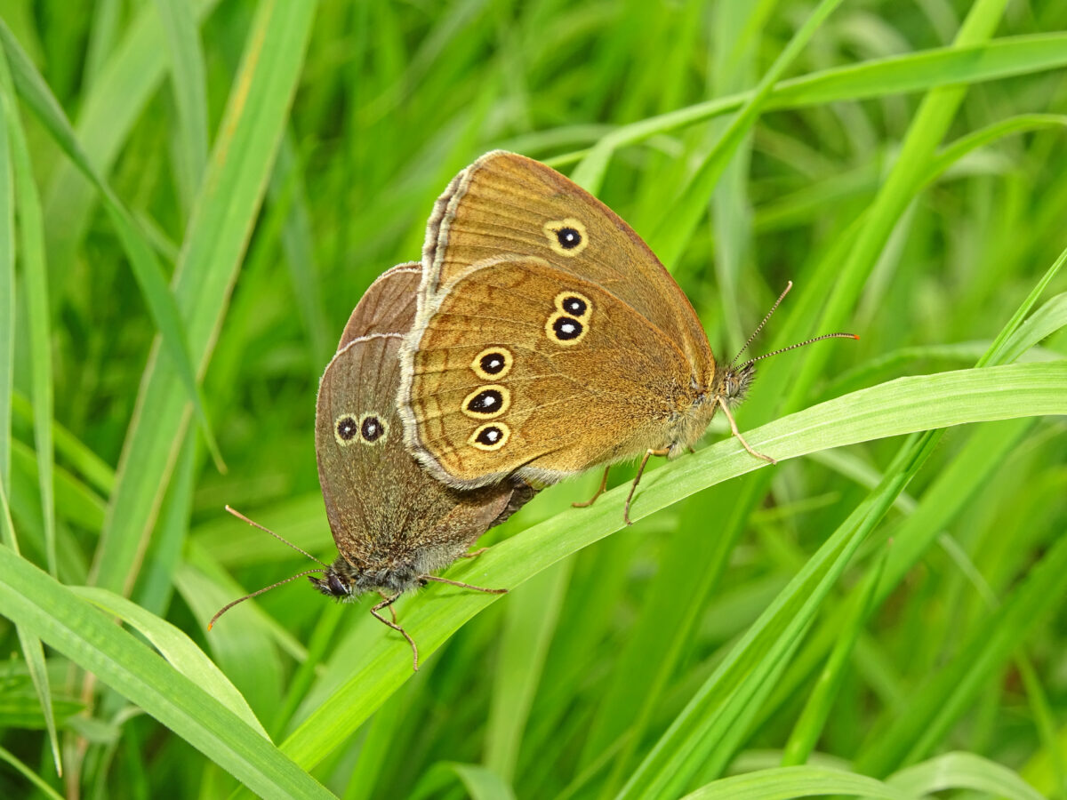 Geslaagde monitoring van vlinders en kruiden in Salland-Noord